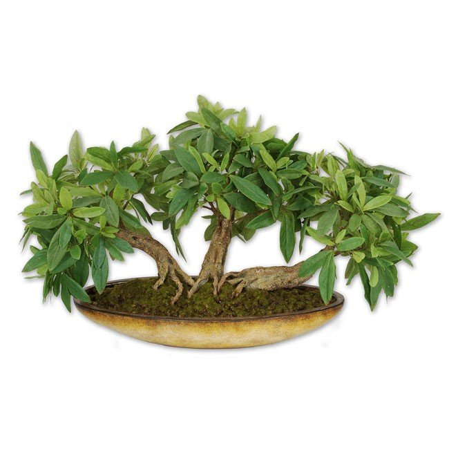 Ficus Triptych Topiary